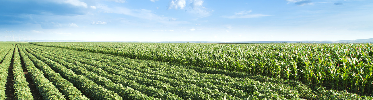 51846447 - soybean next to corn field ripening at spring season, agricultural landscape